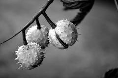 Chestnut heralds coming closer in autumn Stock Photos
