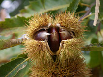 Chestnuts-ouriço royalty free stock image