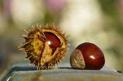 Chestnuts in the park. Chestnuts in the shell outdoor Royalty Free Stock Photo