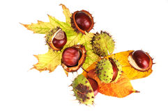 Chestnuts in peel on leaves. Ripe chestnuts in peel on autumnal poplar and maple leaves Stock Photos