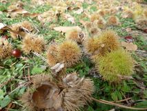 Chestnuts in the prickly peel on the grass and autumn leaves. royalty free stock photo
