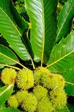 Chestnuts ripening on tree. Stock Photos