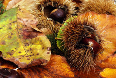 Chestnuts and the scent of wood Royalty Free Stock Images