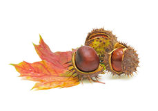 Chestnuts with seed pods over white Stock Photo