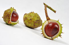 Chestnuts series. Image of three conkers on white background Royalty Free Stock Images