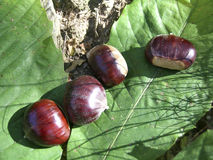 Chestnuts. Some chestnuts in their natural environment royalty free stock photos