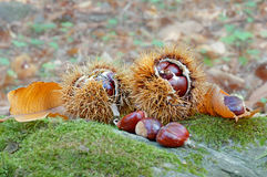 Chestnuts. Some chestnuts in the wood Stock Images