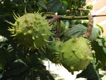 Chestnuts with spikes. Three chestnuts with spikes among the foliage in Kiev Stock Photos