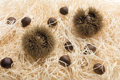 Chestnuts and spiky cupule Royalty Free Stock Photos