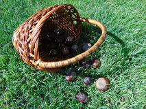 Chestnuts spill out of a basket on the green grass. Large brown chestnuts spill out of a wicker basket on the green grass in Sunny day Royalty Free Stock Photography
