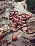 Chestnuts. Spilled chestnuts on the stump. Autumn season, Halloween stuff. Food Stock Images