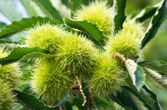Chestnuts at summer time. European chestnuts after summer rain Royalty Free Stock Photography