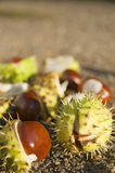 Chestnuts in the sun Stock Photos