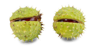 Chestnuts in their outer green burr. Or husk which is partially cracked open to reveal the brown kernels inside over white Stock Photography