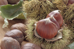 Chestnuts with their outward prickly rind stock image