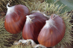 Chestnuts with their outward prickly rind Royalty Free Stock Photo