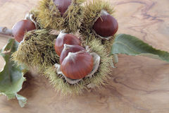 Chestnuts with their outward prickly rind Stock Photos