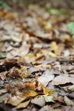 Chestnuts in their skin on the fores floor, autumn nature scene Stock Images