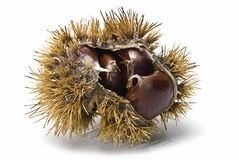 Chestnuts in their urchin. An urchin with some chestnuts isolated on a white background Stock Image