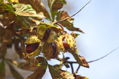 Chestnuts on tree Stock Photography