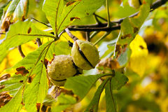 Chestnuts on a tree branch stock image