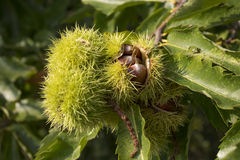 Chestnuts on a tree, Germany Stock Image