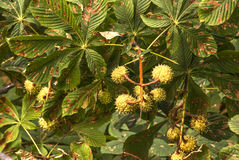 Chestnuts on tree Royalty Free Stock Images