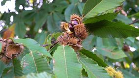 Chestnuts on the tree. Ripe chestnuts on the tree in the autumn stock video footage