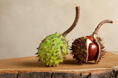 Chestnuts on tree trunk Stock Image