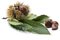 Chestnuts in the urchin and out. An urchin with some chestnuts and some leaves isolated on a white background Stock Photos