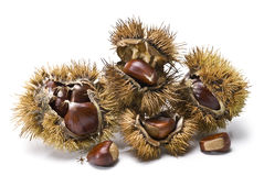 Chestnuts and urchins. Royalty Free Stock Photo