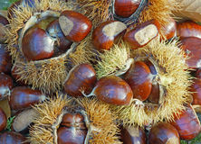 Chestnuts in the urchins Royalty Free Stock Photos