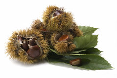 Chestnuts and urchins on some leaves. Stock Photography