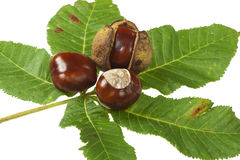 Chestnuts on white background. Some Horse chestnuts on green chestnut leaves on white background stock photos