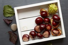 Chestnuts in White Tray. Various chestnuts and green capsules in a white wooden tray Stock Photography