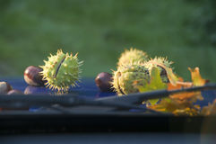 Chestnuts on the windshield Stock Image