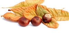 Chestnuts and yellow leaves, autumn items. On white background, soft shadows Royalty Free Stock Photo