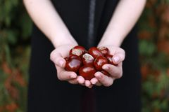 Chestnuts in young woman`s hands royalty free stock image