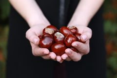Chestnuts in young woman`s hands royalty free stock photo