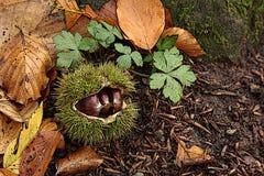 Chestnuts3 Stock Afbeelding