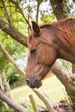 Chestunt horse portrait. Royalty Free Stock Photography