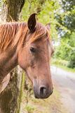 Chestunt horse portrait. Royalty Free Stock Photo
