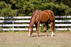 Chestut Stallion Royalty Free Stock Photo