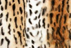 Chetach fur Stock Photos