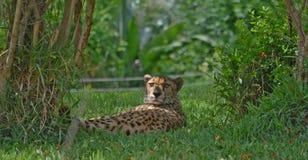 Chetah, das im Gras liegt Stockfotografie