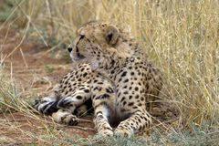 Chettah. Africat Foundation promoting large carnivore conservation and animal welfare Stock Photos