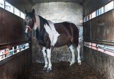 Cheval à l'intérieur de remorque de boîte de cheval Photo stock