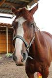 Cheval à la ferme de cheval Images stock