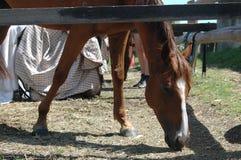 Cheval à la ferme mangeant l'herbe photos libres de droits