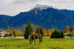 Cheval à une ferme en Colombie-Britannique, Canada Images libres de droits